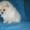Породистые щенки померанского шпица #1507979