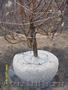 Саженцы,  плодовые крупномеры, цветы